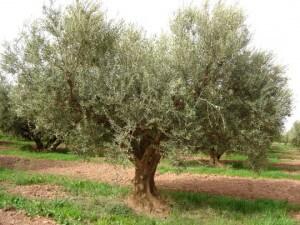 Arbres m diterran ens jardins - Comment entretenir un olivier arbre ...