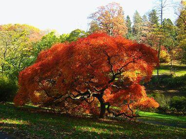 Comment Planter Un érable Du Japon Jardins Et Potagers