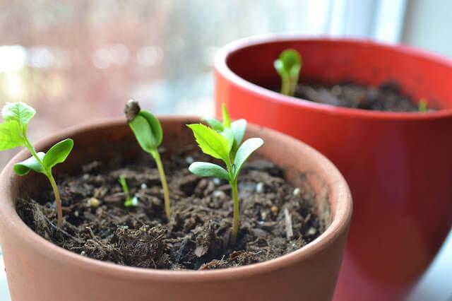 comment faire pousser un pommier à partir d'une graine | jardins