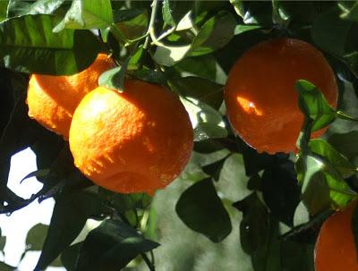 Comment faire pousser un oranger à partir d'une graine