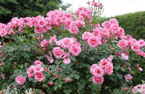 roses roses jardin graine fleur