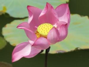 Lotus jardin
