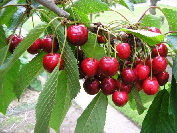 Quel arbre fruitier aimeriez-vous avoir dans votre jardin ?