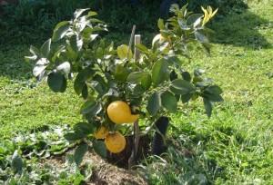 pamplemousse plant