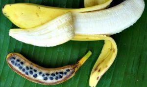 banane sauvage graines