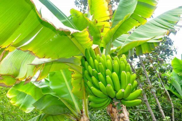 bananier avec régime de bananes