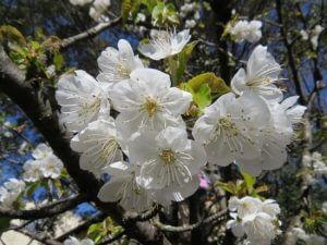 fleurs amandiers