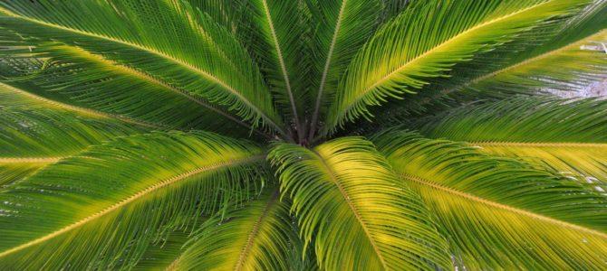 Comment planter et entretenir un palmier ?