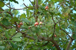 anacardier arbre noix de cajou