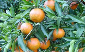 clementinier jardin