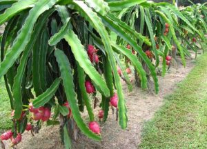 fruits du Dragon-Pitaya-