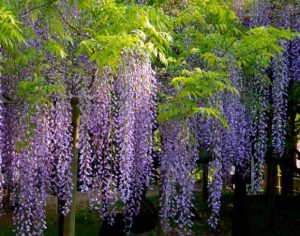 glycine jardin