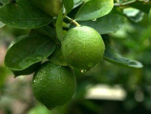 limetier citrons verts jardin