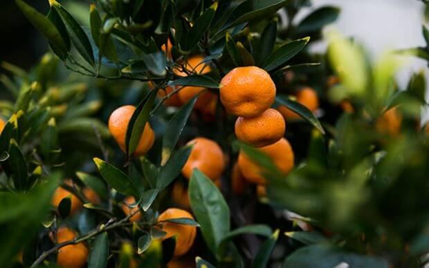 mandarinier jardin