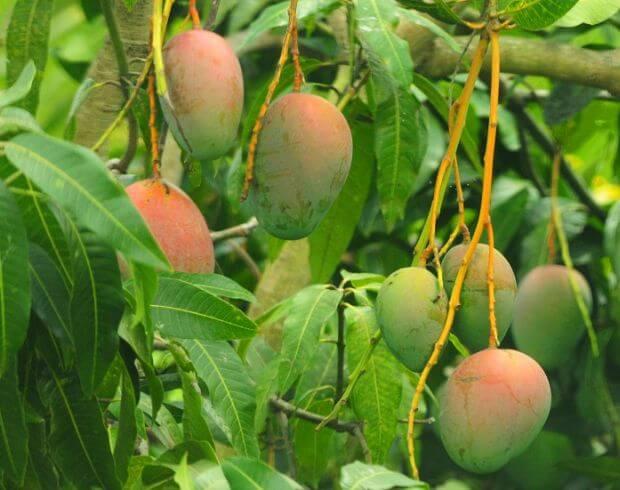 Comment faire pousser un manguier à partir d'une graine