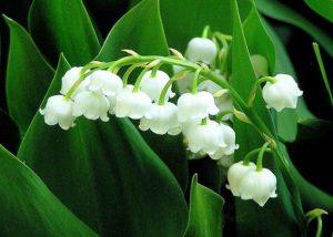 muguet fleurs blanches