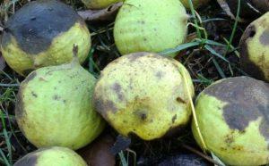 noix coques fraiches