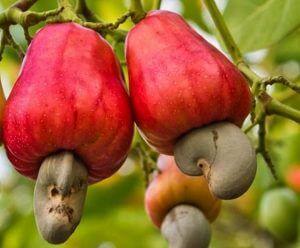 noix de cajou sur anacardier