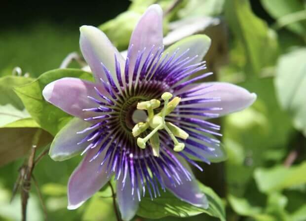 Comment faire pousser de la passiflore partir de graines - Comment faire partir un coup de soleil ...