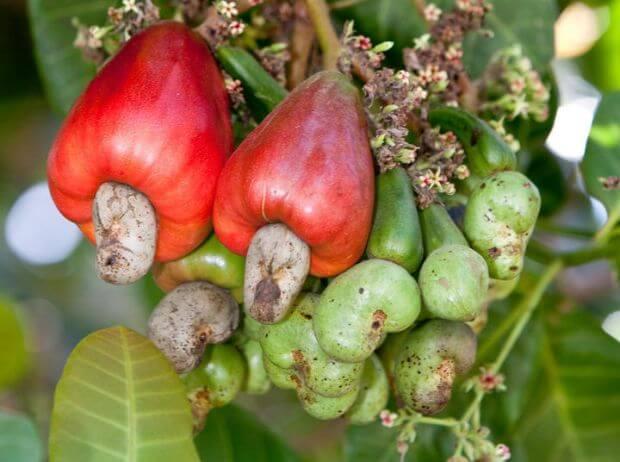 Comment faire pousser un Anacardier, l'arbre à noix de cajou