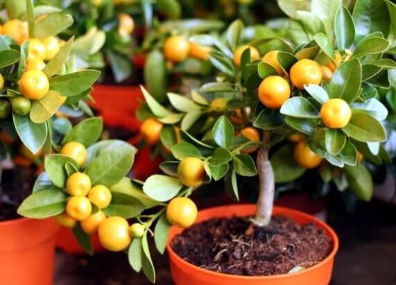 8 arbres fruitiers que vous pouvez faire pousser dans des pots