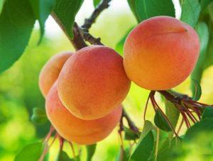 abricots sur abricotier