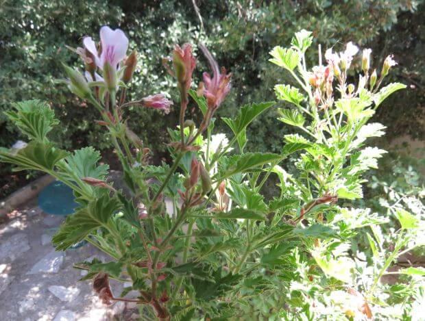 faire pousser des plantes repoussant les moustiques jardins et potagers. Black Bedroom Furniture Sets. Home Design Ideas