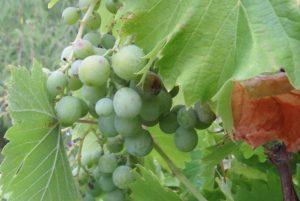 raisin vert sur vigne