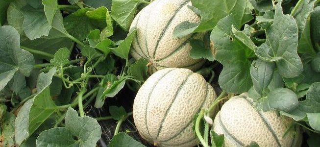 Comment faire pousser des melons