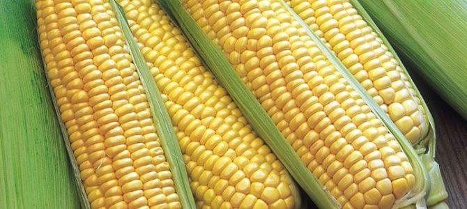 Comment faire pousser votre propre Maïs à partir de graines