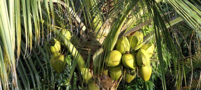 Comment faire pousser un cocotier à partir d'une noix de coco