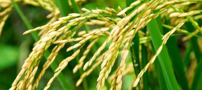 Comment faire pousser du riz